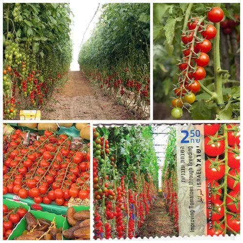 以色列的番茄园
