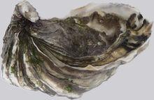 牡蛎(图9)